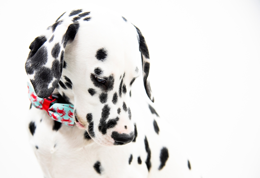 Black and white dalmation Henry looking handsome with his red and turquoise crab bow tie collar.